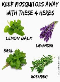 "Herbs that keep Mosquitoes Away: ""One way is having my herb garden pull double duty. The scent from the herbs: Rosemary, Basil, Lemon Balm and Lavender repel mosquitoes."" Article has more suggestions. Container Gardening, Repellent, Garden, Plants, Herbs, Herb Garden, Garden Pests, Outdoor, Outdoor Gardens"