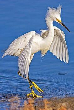 Great Egrets Lacy Courtship Birdnote >> 219 Best Cranes Herons Egrets Images In 2018 Beautiful Birds