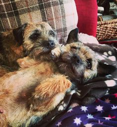 31 Reasons To Love Border Terriers & Their Scruffy Little Faces BowWow Times cuddles