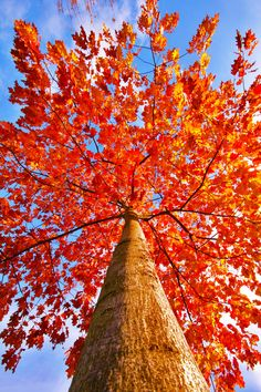 tree in autumn colours Seasons Of The Year, Autumn Leaves, Fall Trees, Red Leaves, Autumn Harvest, Falling Leaves, Beautiful World, Mother Nature, Nature Photography
