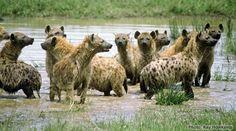 HYNEANS   Spotted hyenas enjoying the water (photo credit: K. Holekamp)