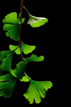 Ginko leaves in summer, beautifully photographed against a black background