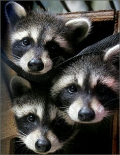 Just look at those faces!  Oh, they look cute. But raccoons like these killed 10 cats, attacked a small dog and bit at least one pet owner in Olympia, Washington in 2006.  Like your family cats & dogs, raccoons are susceptible to & carriers of rabies, too.  In Olympia, those cute raccoons were rabid when they killed the 10 cats, attacked the small dog & bit the pet owner.  Rabies spreads rapidly among small wild animals.