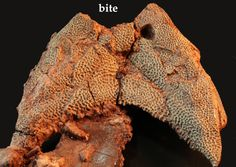 Ouch! A fossilized boomerang-head suffered a life-ending bite to the nose by a finbacked Dimedtrodon.