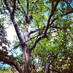 Great Tree.