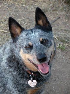 "Have loved cattle dogs ever since I saw the movie ""The Last of the Dogmen.""  Soooo smart!    Zip is the reason I got my first cattle dog.  Too smart for their own good!   Love my ""Gracie Girl"""
