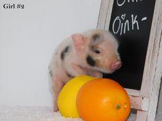 Mini & Micro Juliana Baby Pigs For Sale - Mini Pocket Pigs : Mini Pocket Pigs Baby Pigs For Sale, Cute Baby Pigs, Micro Piglets, Baby Piglets, Pocket Pig, Juliana Pigs, Baby Animals, Cute Animals, Otters Cute