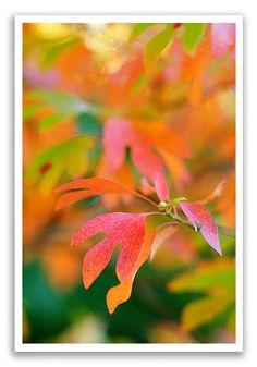 sassafras leaves fall   Color Sassafras