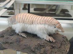 Le Chlamyphorus truncatus Egalement appelé le Chlamydophore tronqué ou encore le tatou tronqué ou Tatou nain d'Argentine. Il s'agit d'une petite espèce de tatou (12 à 15 cm de long). Ce petit animal vit essentiellement en Argentine.