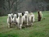 The llamas...