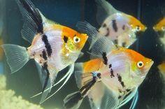 Freshwater Angelfish