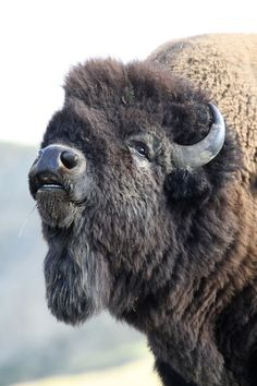 Once one of the most numerous mammals in North America, bison were purposely driven to near extinction in an effort to force native Americans into reservations. However thanks to conservation efforts, they have managed to make a comeback. Animal Bufalo, Beautiful Creatures, Animals Beautiful, Buffalo Pictures, Bison Tattoo, Animals And Pets, Cute Animals, American Bison, Tier Fotos