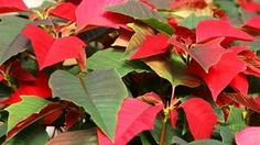 Poinsettia blooms are colored bracts with a smal flower in the center. I just bought one for $3 ! Not for holiday purposes but just because they're beautiful!