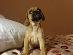 What's up Puggles? Creature Feature, Dog Design, Rescue Dogs, Beagle, Cute Puppies, Pugs, Cute Pictures, Cute Animals, Creatures