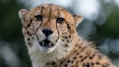 The Staring Cheetah by Charissa Lotter (de Scande) on 500px