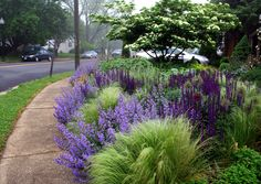 Nasella tenuissima, Salvia 'Caradonna' and Nepeta Walker's Low adorn this colorful front garden landscape.