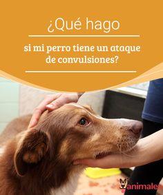 ¿Qué hago si mi perro tiene un ataque de convulsiones? Si sientes que tu perro tiene un ataque de convulsiones, no pierdas la calma. Aquí te ofrecemos una serie de consejos útiles. #convulciones #miperro #consejos #salud
