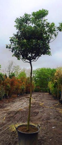 Pittosporum Tobira Full Standard Trees for Sale UK