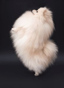 More About Cute Pomeranian Puppy Temperament - - Cute Pomeranian Puppy - Puppies Pomeranian Facts, Pomeranian Haircut, White Pomeranian, Pomeranian Puppy, Teacup Pomeranian, Cute Puppies, Cute Dogs, Save A Dog, Getting A Puppy