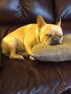 Miss Fancy Pants, the French Bulldog