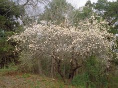 Another shade tolerant white flowered small tree