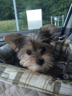 shih tzu pitbull mix full grown 1000 images about puppies on pinterest maltese yorkie 3354