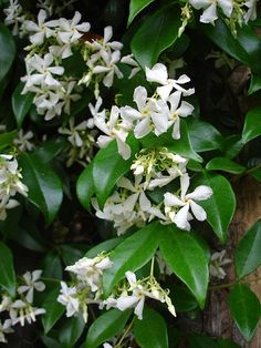 This evergreen climber wants a south or west-facing position. It can be grown along a wire fence and will eventually turn into a hedge. It flowers in mid-Summer when its perfume will waft over the garden. Scroll down for further details. Planting Shrubs, Planting Plan, Garden Shrubs, Shade Garden, Garden Plants, Backyard Plants, Outdoor Plants, Outdoor Gardens, Evergreen Climbers