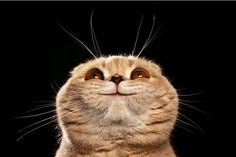 Smiling Scottish Fold Cat!!!