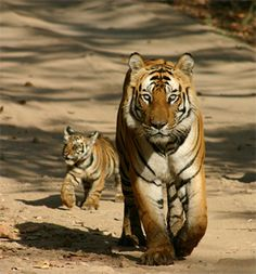 Spotting wild tigers in India. . .  The beautiful Bengal tiger is designated as the official animal of India, where about two-thirds of the worldwide Bengal tiger population can be found. There are many tiger reserves in India. However, actually spotting one requires a lot of patience and luck. Here are some of your best bets for spotting a tiger in India.