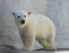 Siku, the only Polar Bear cub in an American zoo