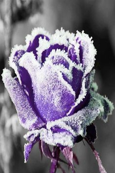 Purple Frost Covered Rose