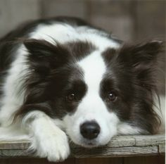 Pretty Little Black and White Border Collie Has Something on Her Mind.