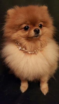 Marvelous Pomeranian Does Your Dog Measure Up and Does It Matter Characteristics. All About Pomeranian Does Your Dog Measure Up and Does It Matter Characteristics. Cute Baby Animals, Animals And Pets, Funny Animals, Cute Puppies, Cute Dogs, Cute Pomeranian, Save A Dog, Dog Hacks, Happy Dogs