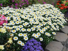 Daisies in galvanized pails - plant later? A little more expensive than cut flowers but not wasted.  And I love daisies.