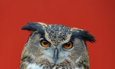 Owl attacks prompt Dutch town to arm itself with umbrellas - European eagle owl sends many victims in Purmerend to hospital - Expert says hormone levels or time in captivity may be to blame.