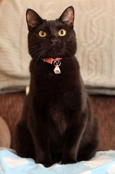 Handsome black cat, with bell. I Love Cats, Crazy Cats, Cute Cats, Funny Cats, Beautiful Cats, Animals Beautiful, Cute Animals, Baby Animals, Kittens Cutest