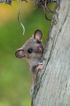 belas-imagensreblogoushaunandjosh tiny-creatures: Dorrmouse - Ghiro by Fabrizio Moglia