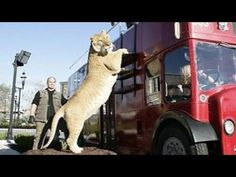 World's BIGGEST CAT! The LIGER (a LION TIGER cross SUPER-BREED!) - YouTube