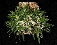 Dendrobium yulianiae_5223