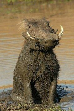 It's a real life Pumba! Male warthog that has been rolling in the mud. Beautiful Creatures, Animals Beautiful, Beautiful Photos Of Nature, Animals Amazing, Funny Animals, Cute Animals, Happy Animals, Tier Fotos, All Gods Creatures