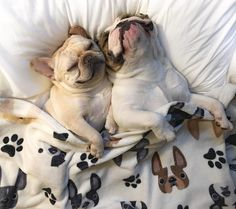 Snuggling French Bulldogs, in Frenchie Sheets, via Art is memories Brooklyn, NY