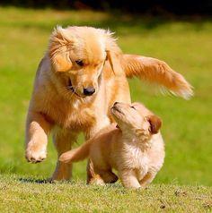Puppy dog with mother 😏 Golden retriever 🐶 Super Cute Puppies, Cute Baby Dogs, Cute Dogs And Puppies, Doggies, Retriever Puppy, Dogs Golden Retriever, Golden Retrievers, Cute Little Animals, Cute Funny Animals