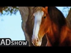 Budweiser clydesdales commercials