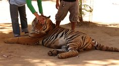 EVIL GREEDY BASTARDS!!!!!!!!!Special Investigation: Famous Tiger Temple Accused of Supplying Black Market - BURN IN HELL!!!!!!!!!!!!!!!!