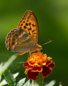 Fjäril i närbild juli