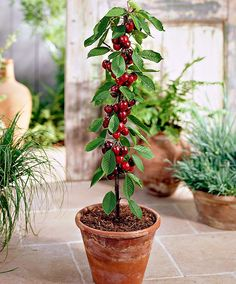 Cherry 'Sylvia'   Fruit & Veg from Bakker Spalding Garden Company