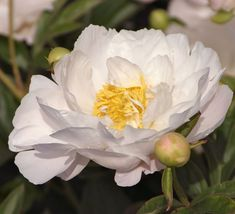 Miss America - Herbaceous Peony/Paeonia Colorful Flowers, White Flowers, Beautiful Flowers, Cut Flowers, Peony Care, June Flower, Paeonia Lactiflora, Peonies Garden, Herbaceous Perennials