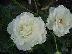 Guia de jardin: Rosas blancas