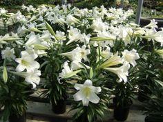 Easter Lily : Lilium longiforum