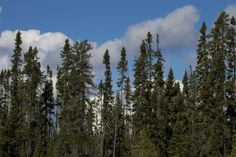 Black, Swamp & Bog Spruce Trees for Sale - Seedlings & Transplants Spruce Tree, Horror, Nature, Plants, Outdoor, Image, Black, Mariana, Outdoors